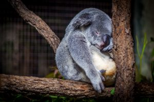 ronflement-koala